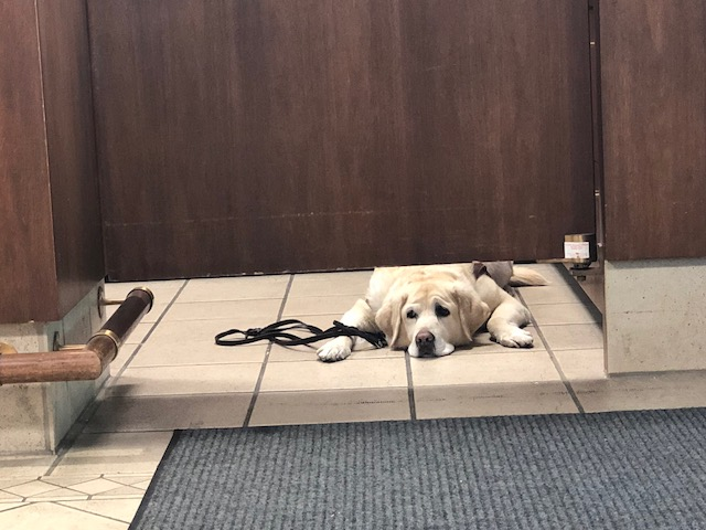Norway, a trained guide dog, peers under a door.